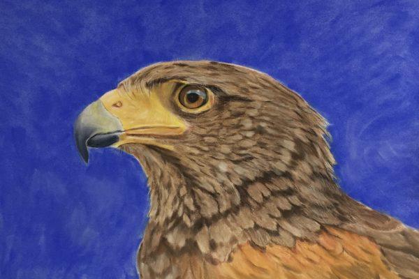 Harries Hawk